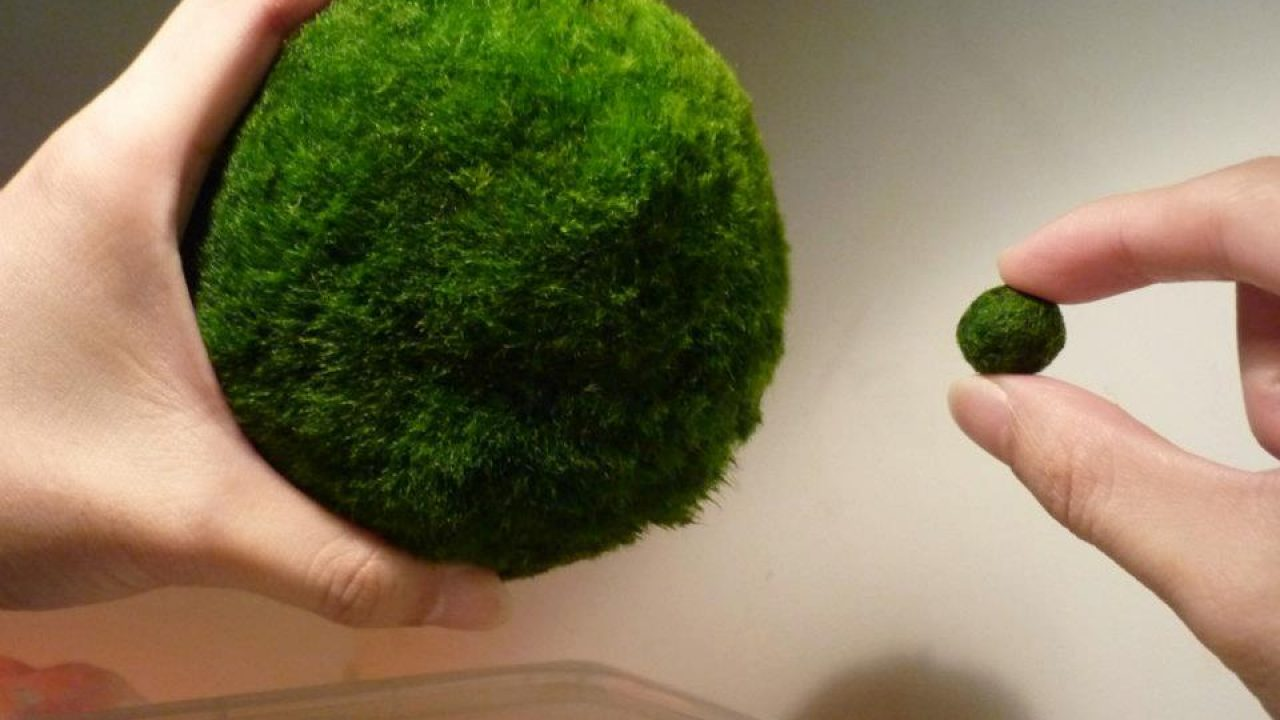 Packaging Marimo As Gifts Mossball Com